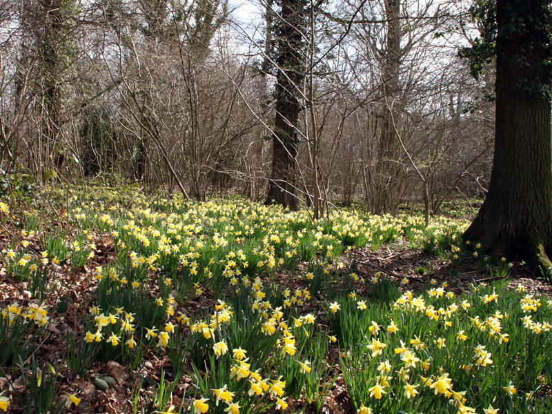 Wild daffodils, Queenswood, Dymock